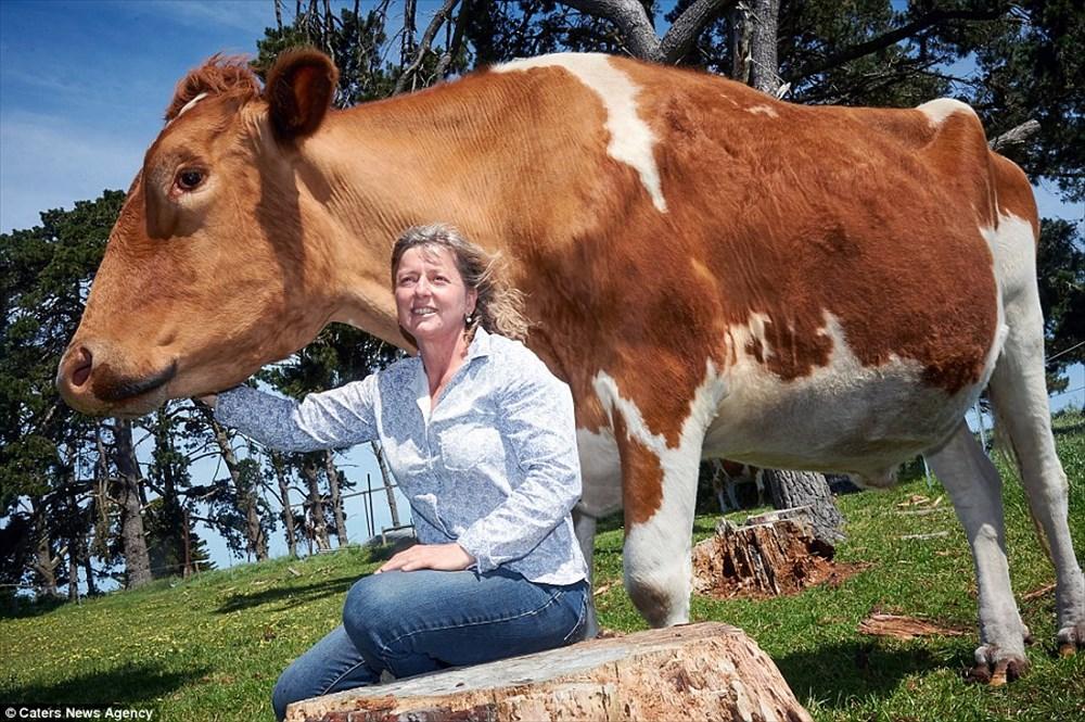 世界一かも!現在7歳で今も成長を続ける巨大牛ビッグ・モー