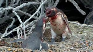 「俺の女を返せ!」妻の不倫相手と修羅場を迎えた夫ペンギン、妻が選んだのは?