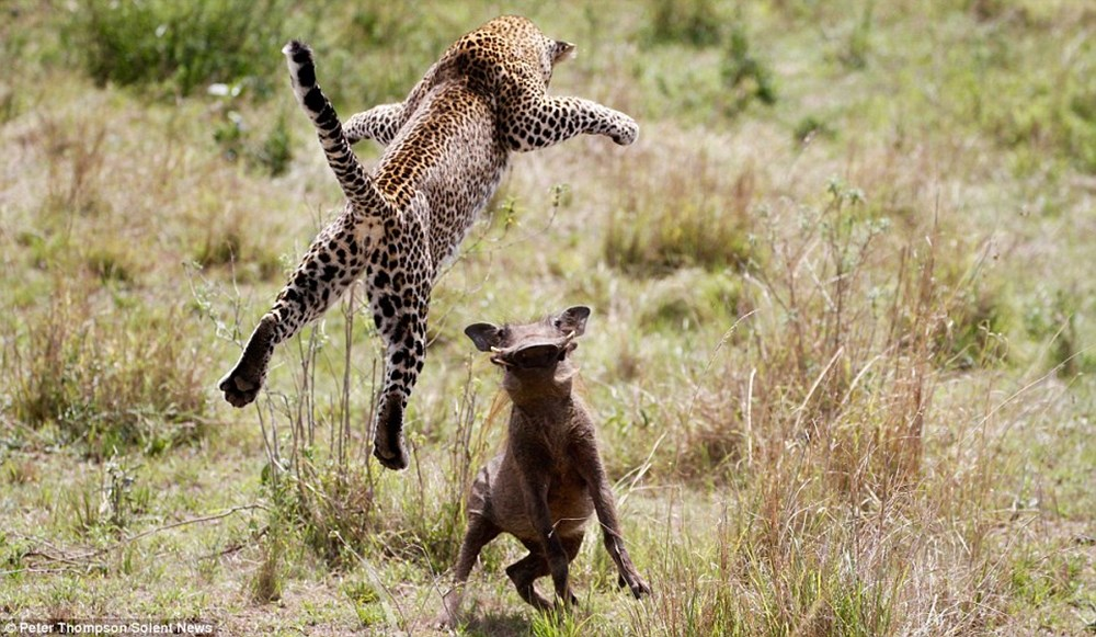 空から襲い掛かるハンター!妊娠中のヒョウとイボイノシシの2分間にわたる死闘