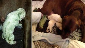胎盤から分泌された物質が原因 ラブラドールレトリーバーから緑色の子犬が誕生