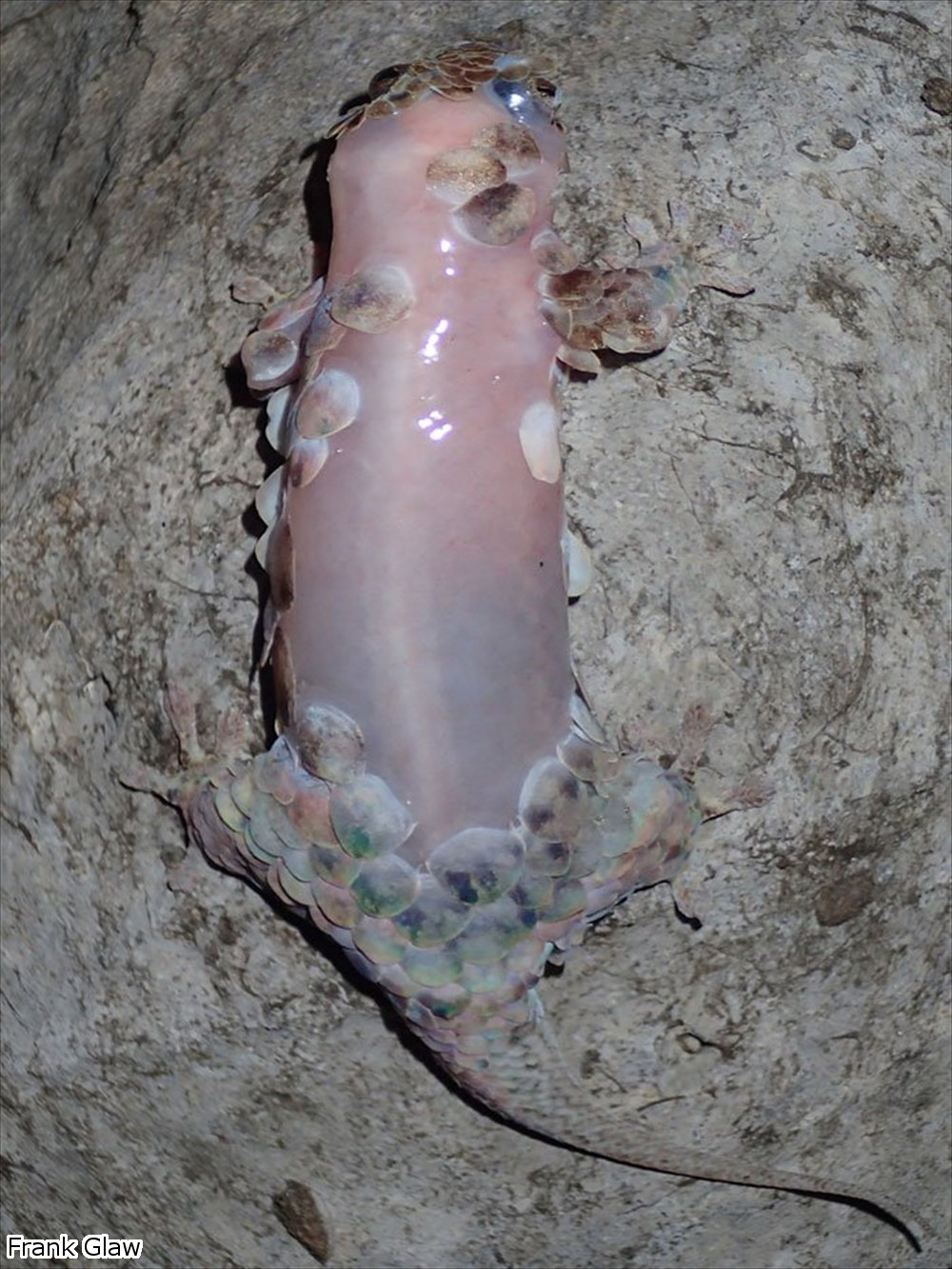 危険を感じたらウロコを脱ぎ捨てる! 新種のヤモリ「ゲコレピス・メガレピス」