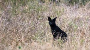 【すごーい、まっくろー】ケニアで黒のサーバル発見!メラニズムが原因で7例目