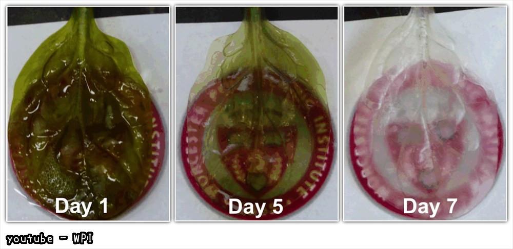 科学者、ほうれん草の葉っぱを人間の心臓組織に作り変えることに成功