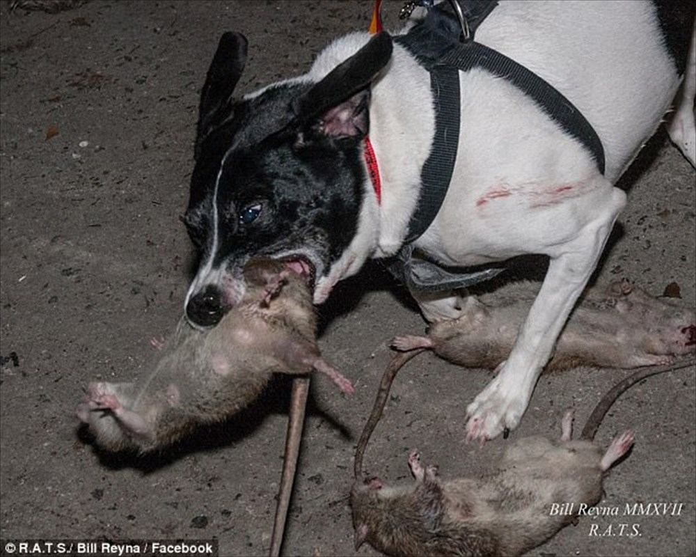 猫の出番はないぜ! NYのネズミ駆除のために出動するハンター犬集団