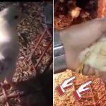 ブラジルの農場で4本脚のニワトリ「フランケン・チキン亅誕生