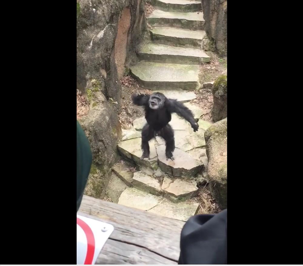 ご機嫌斜めな動物園のチンパンジー、ウンチをおばあちゃんの顔面に投げつける