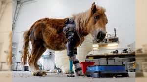 生後すぐに事故で脚を失ったポニー、専用義足で再び自由を手に入れる