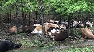 【雷、コワイ】アメリカミズーリ州で落雷、一発で乳牛32頭がやられる