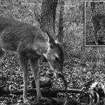 鹿せんべいはもう飽きた! シカが人間の遺体を食べる瞬間が初めて撮影される