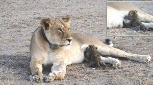 わが子を亡くした寂しさか? ヒョウの子どもを育てる野生ライオンが目撃される