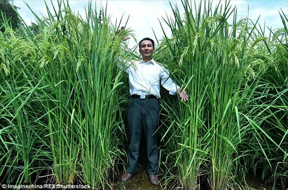 食糧問題解決なるか? 中国で稲の高さ2.2メートルの巨大な「米」が作られる