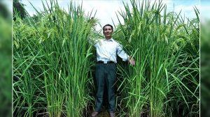 食糧問題解決なるか?中国が2.2メートルに成長する「巨大米」の栽培に成功